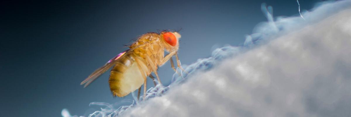 Biomedical Researchers Study Fruit Flies to Understand Human Genetic Functions