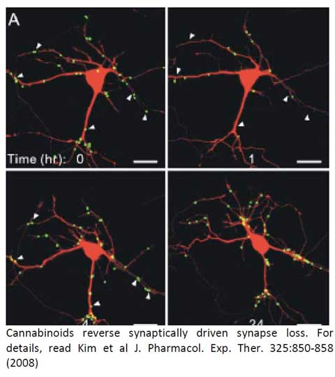 Cannabinoids reverse synaptically driven synapse loss