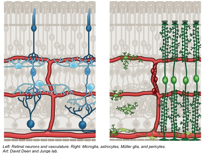 Retinal neurons and vasculature