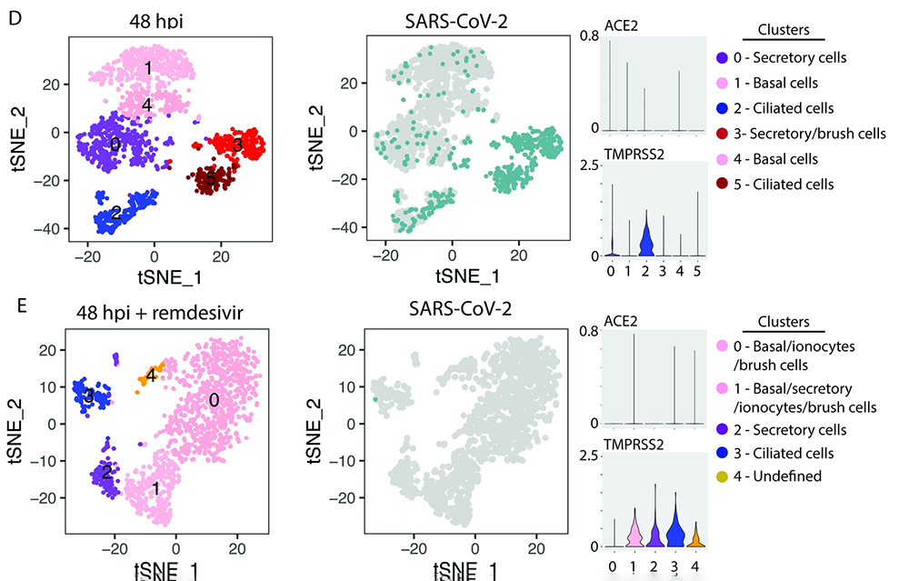 Colorful charts indicating where in the cell that SARS-CoV-2 infections occurred.