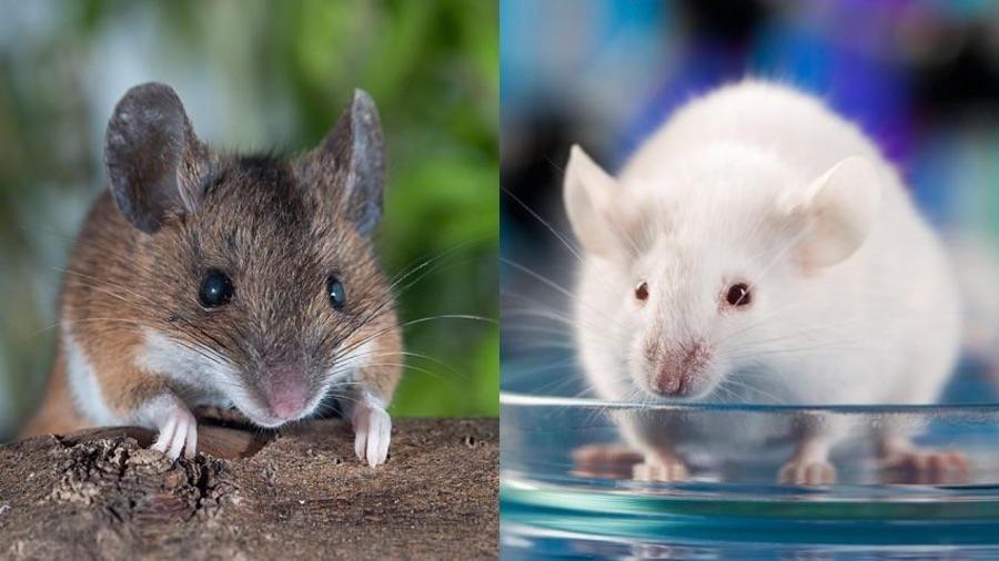 Mice photo