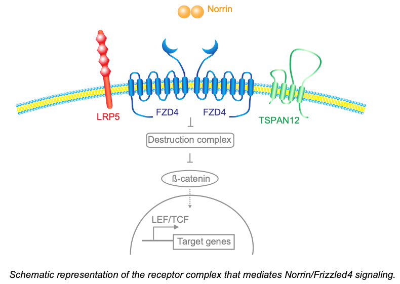 Schematic representation of the receptor complex