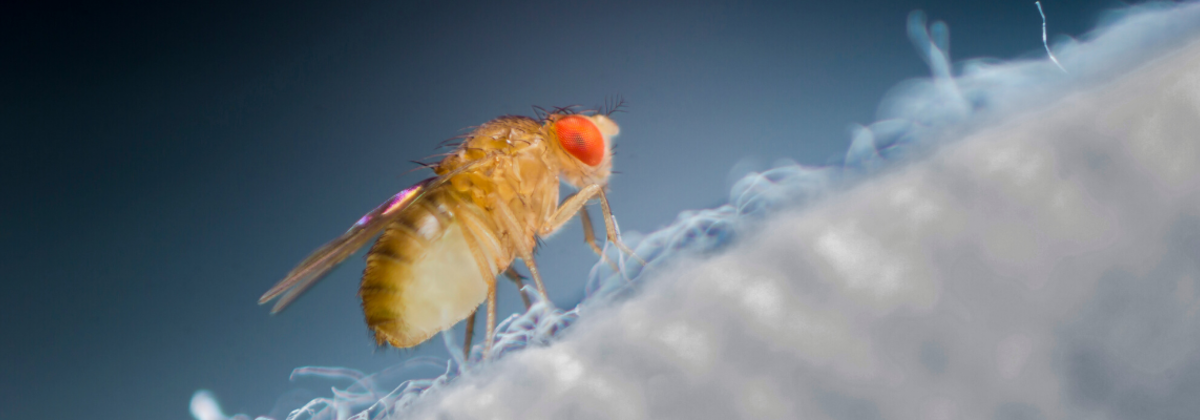 Biomedical Researchers Study Fruit Flies to Understand Human Genetic Functions