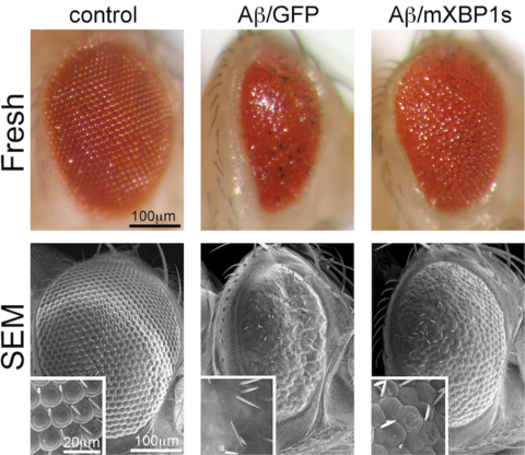 Flies expressing the toxic amyloid-β42 (Aβ42) peptide found in the Alzheimer's disease brain induce a small and glassy eye that is rescued by co-expression of the ER-stress factor XBP1 (Hum Mol. Gen 2011).
