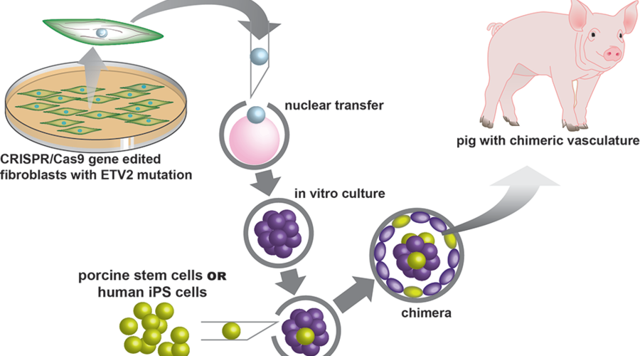Pig schematic of chimera process